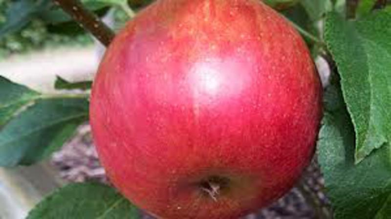 Scrumptious Apples ORGANIC image 2