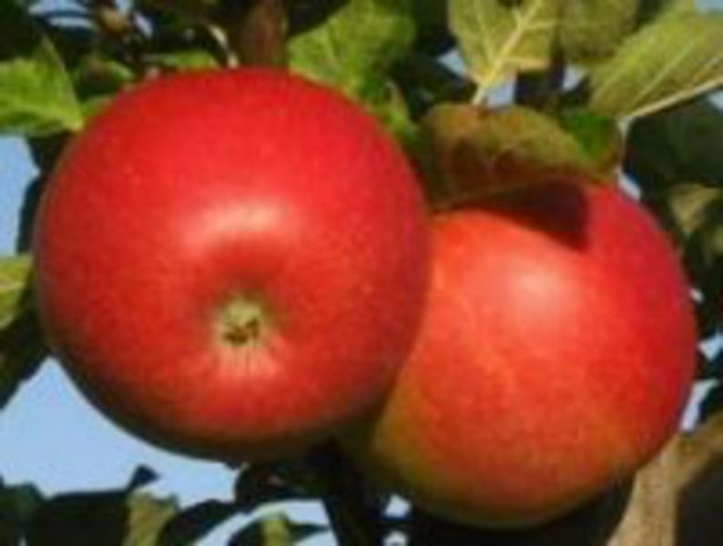 Early Windsor Apples ORGANIC