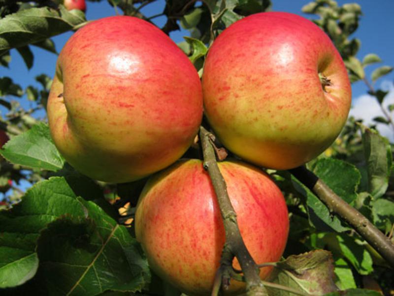 Annie Elizabeth Cooker Apples ORGANIC