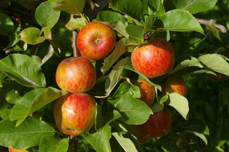 Apples Orange Ellisons ORGANIC