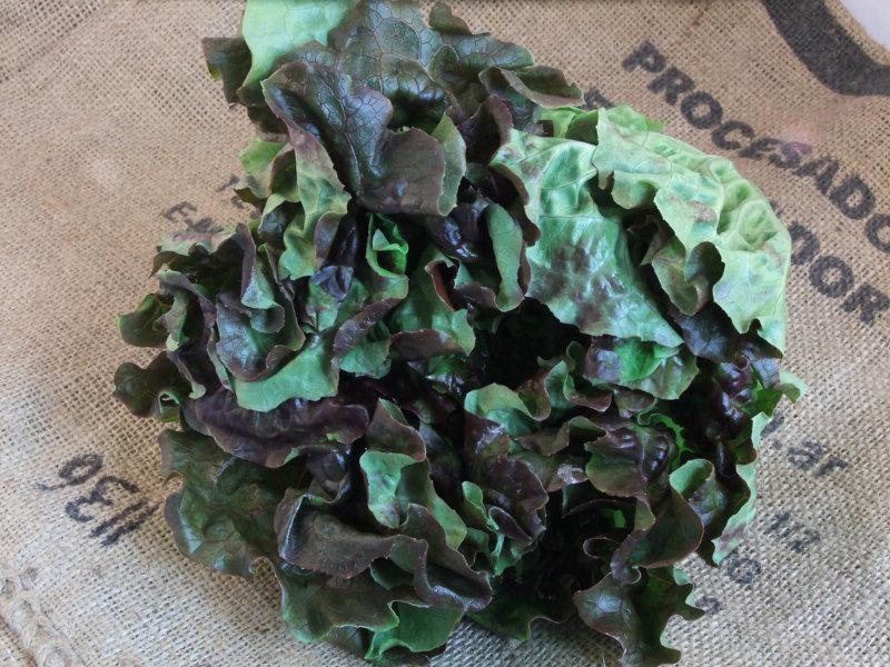 Lettuce Oakleaf ORGANIC