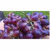 Grape Juice Cough Remedy Recipe thumbnail image