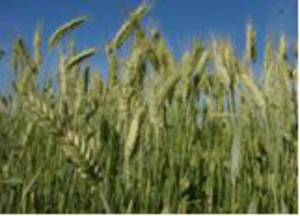 gluten is found in wheat like this