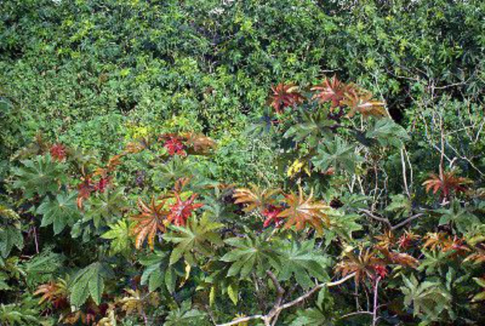 Castor oil plant (ricinus comunis)