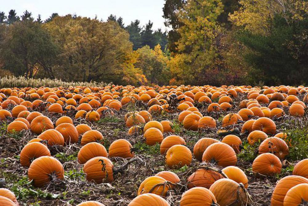 A pumpkin patch