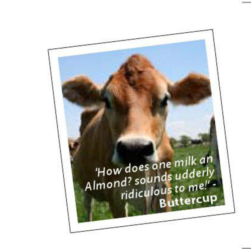 Buttercup a cow who is puzzled by almond milk
