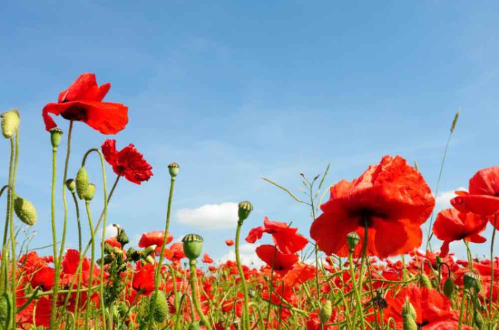 Poppies and Remembrance